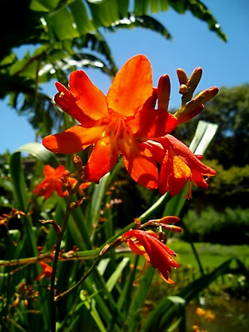 Crocosmia aurea in flower