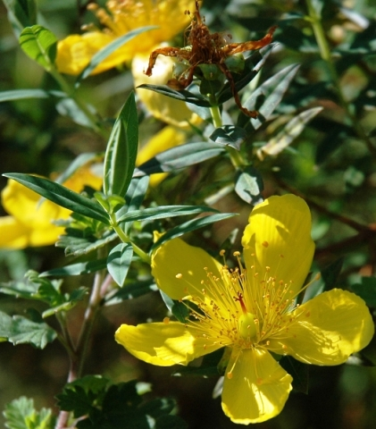 Hypericum revolutum at Bourke's Luck