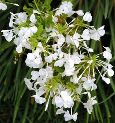 Plumbago auriculata with white flower
