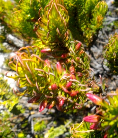 Erica plukenetii claw-like leaves