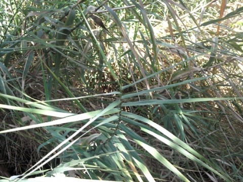 Phragmites australis, common reed or fluitjiesriet