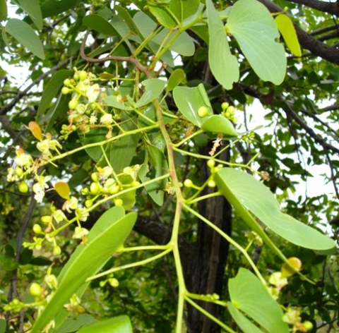 Colophospermum mopane flowering