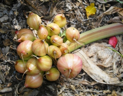 Crinum stuhlmannii fruits