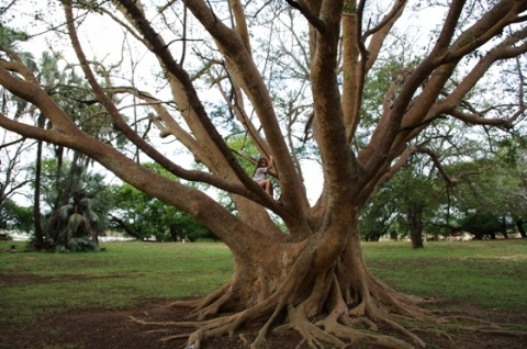 Photos Of South African Plants Category Ficus Image