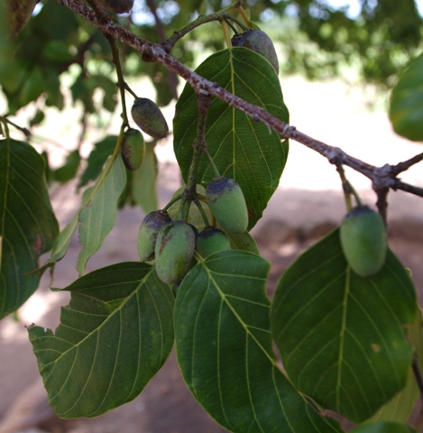 Berchemia discolor unripe fruit