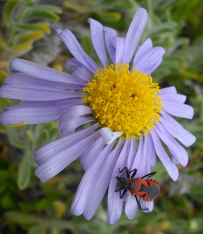 Amellus asteroides and the Unknown Pollinator