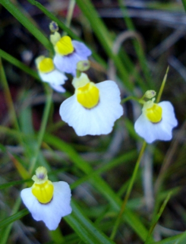 Utricularia bisquamata belonging to a charming family