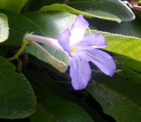 Streptocarpus formosus bud and flower