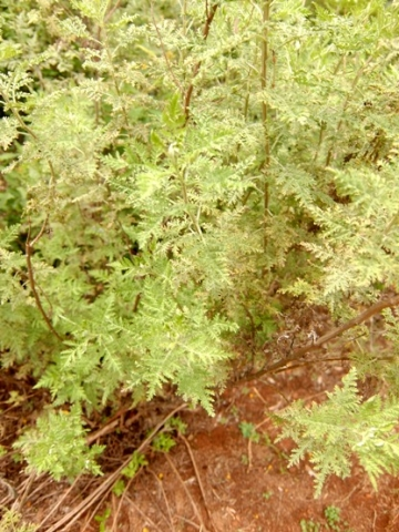 Artemisia afra leaves