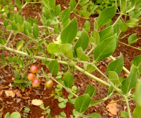 Carissa edulis fruit and leaves
