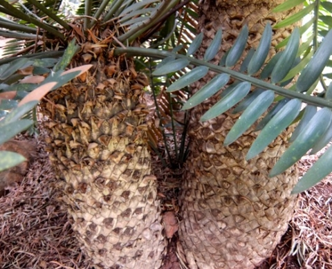Encephalartos altensteinii stems