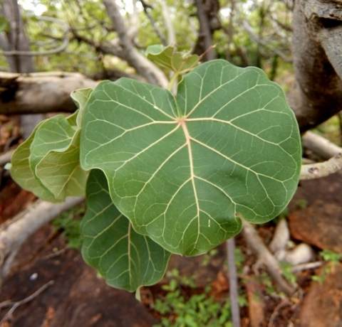 Ficus abutilifolia leaves