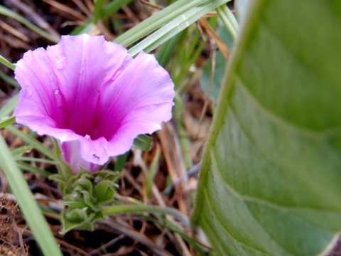 Ipomoea ommaneyi flower and stalk