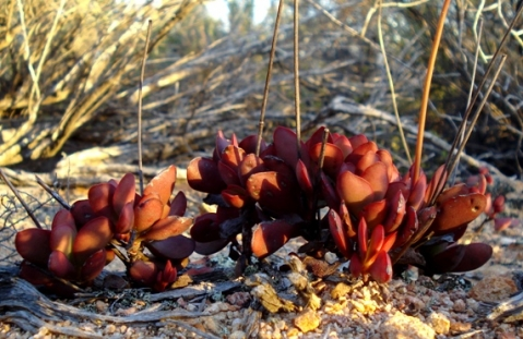 Crassula atropurpurea coloured leaves
