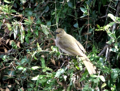 Azima tetracantha and sombre greenbul