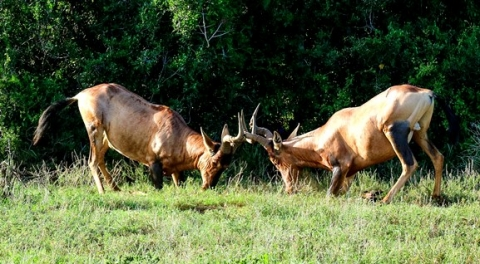 Red hartebeest conflict resolution
