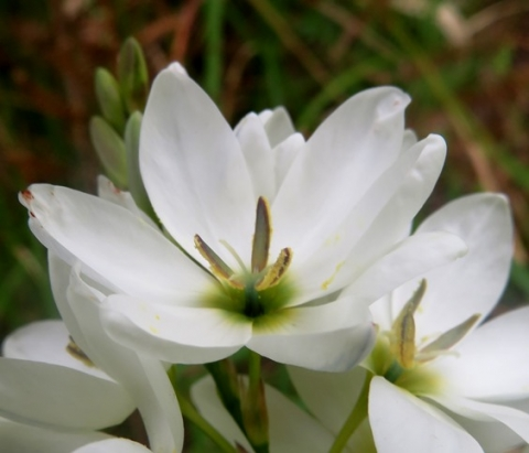 Ixia polystachya white with green centre