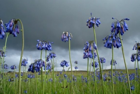 Agapanthus inapertus waiting for rain