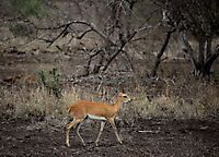 Steenbok in winter
