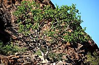 Ficus abutilifolia, the large-leaved rock fig