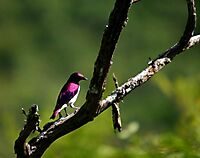 Plumcoloured starling