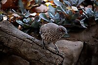 Arrowmarked babbler