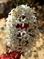 Crassula alpestris subsp. massonii inflorescence upper part
