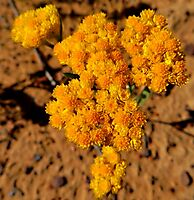 Helichrysum moeserianum bearing enough flowers