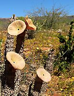 Hoodia gordonii dishes sending signals to flies