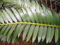 Encephalartos altensteinii leaf