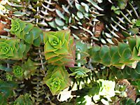 Crassula capitella subsp. thyrsiflora maybe