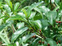 Rhamnus prinoides with fruits