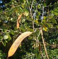 Bauhinia galpinii fruit pods