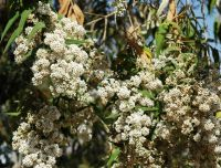 Buddleja salviifolia flowering