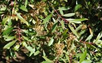 Catha edulis branch