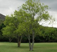 Celtis africana in a park