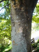 Celtis africana trunk