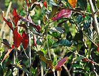 Combretum kraussii, some wintry red leaves