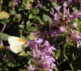 Hypoestes aristata and visiting butterfly