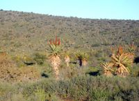 Aloe ferox covering a large terrain