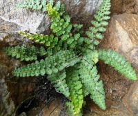 Cheilanthes hirta