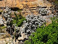 Crassula arborescens thriving on a cliff