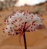 Strumaria bidentata showing fresh desert flowers