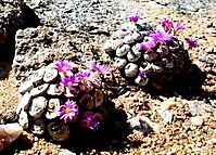 Conophytum wettsteinii on rocky ground