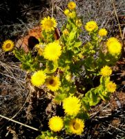 Helichrysum setosum on the Magaliesberg