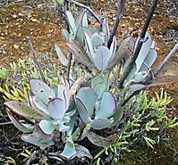 Cotyledon orbiculata in the Agtervinkrivier valley