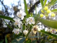 Gomphocarpus physocarpus with flowers, buds and rings