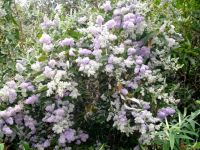 Buddleja salviifolia blooming well in spring
