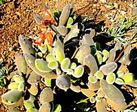 Cotyledon tomentosa subsp. tomentosa mixed features