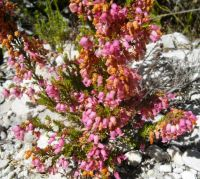 Erica tenella showing many tiny urn-shaped flowers